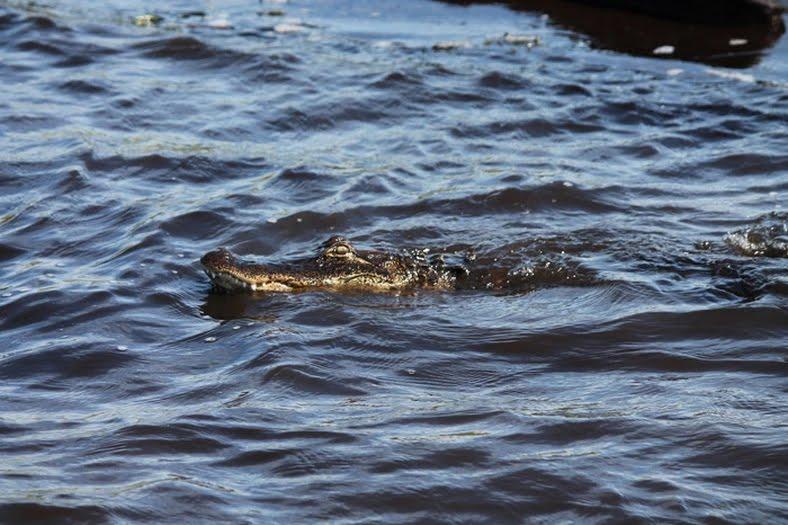 alligator in water FL
